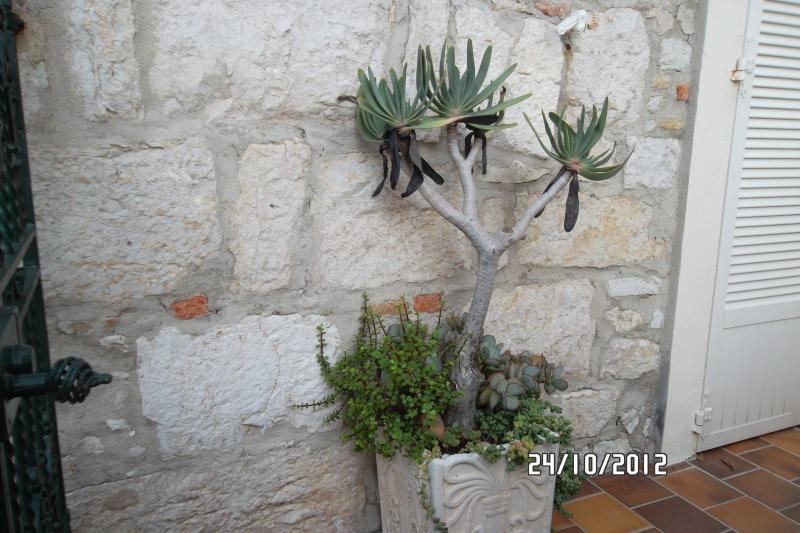 Aloe plicatilis, C. arborescens, Portulacaria afra, Corpuscularia lehmanni Cotyle10