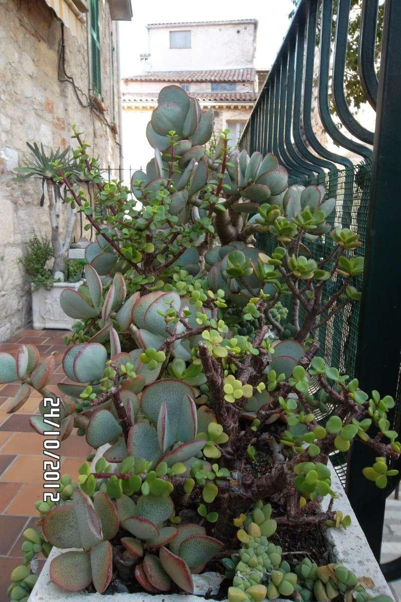 Aloe plicatilis, C. arborescens, Portulacaria afra, Corpuscularia lehmanni Sam_5411