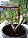 Pelargonium carnosum S_00210