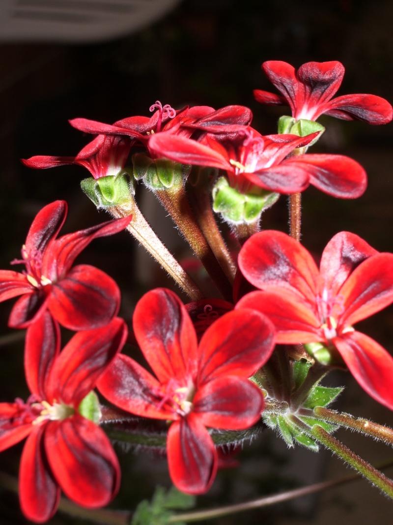 Pelargonium ardens X_arde10