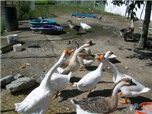 oies chinoises,gros canards et grosse couveuse a vendre Oie_210