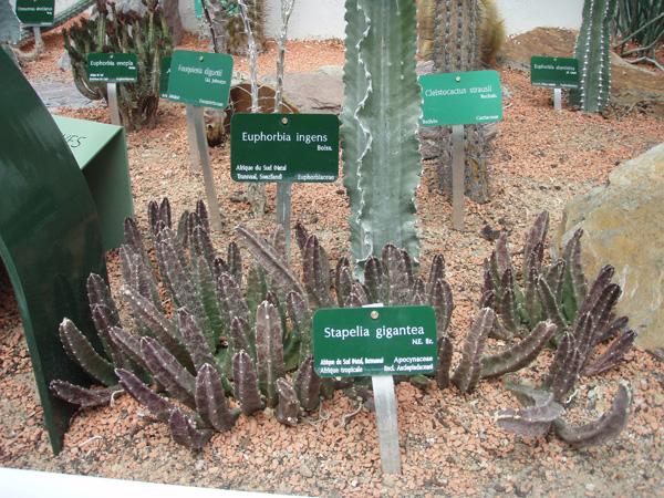 Petite visite des grandes serres du Jardin des plantes à Paris Cactus14