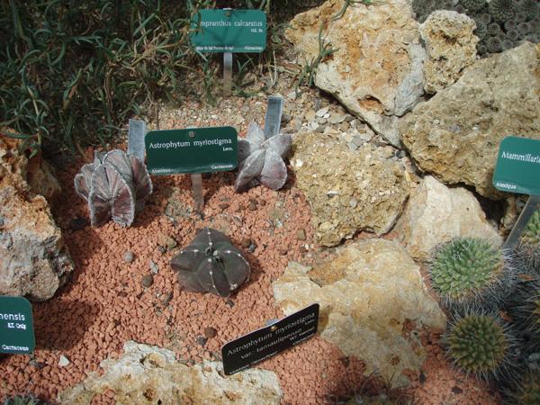 Petite visite des grandes serres du Jardin des plantes à Paris Cactus17