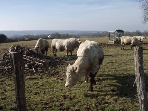 Ballade en Morvan Vaches10