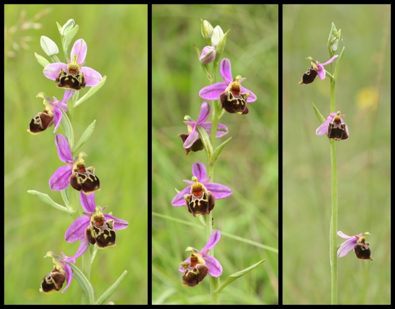 Ophrys aegirtica ( Ophrys du Gers ) Aegi210