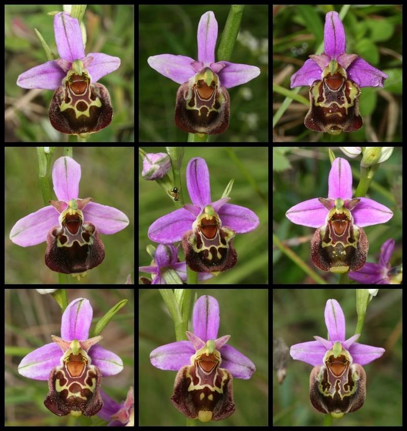Ophrys aegirtica ( Ophrys du Gers ) Aegi412