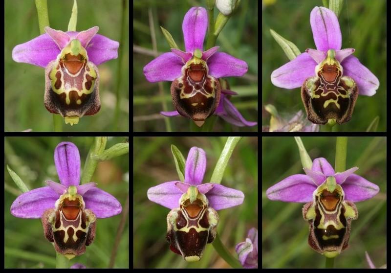 Ophrys aegirtica ( Ophrys du Gers ) Aegi510