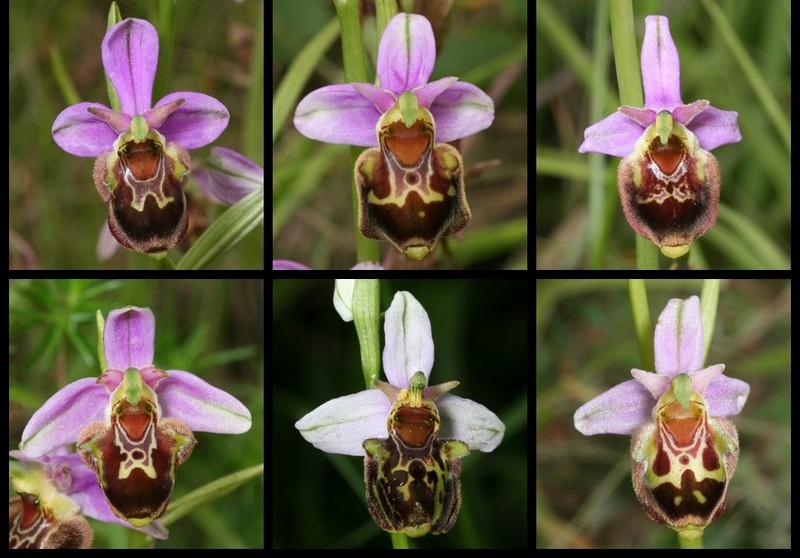 Ophrys aegirtica ( Ophrys du Gers ) Aegi610