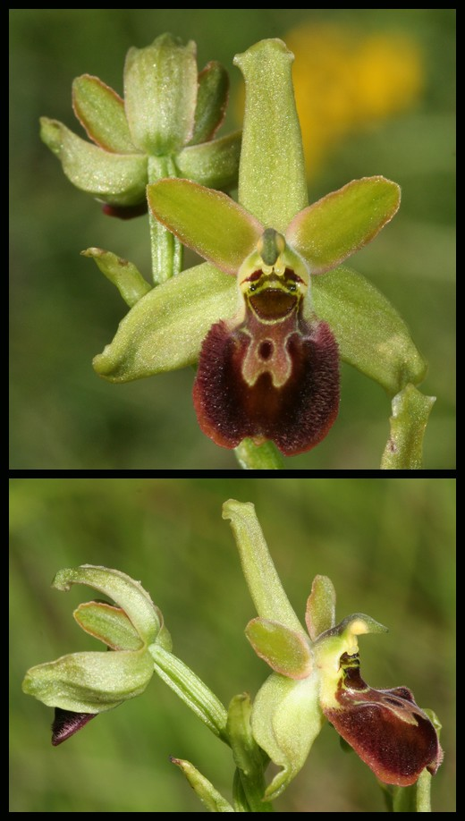 Ophrys argensonensis (Ophrys d'Argenson) Arg210
