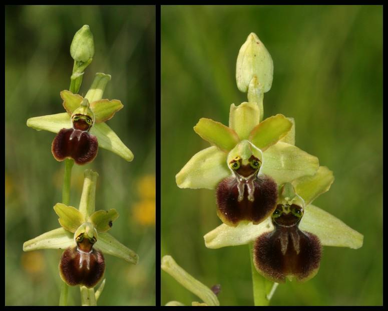 Ophrys argensonensis (Ophrys d'Argenson) Arg410