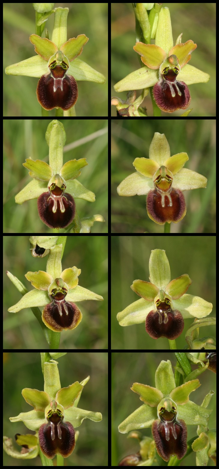 Ophrys argensonensis (Ophrys d'Argenson) Arg510