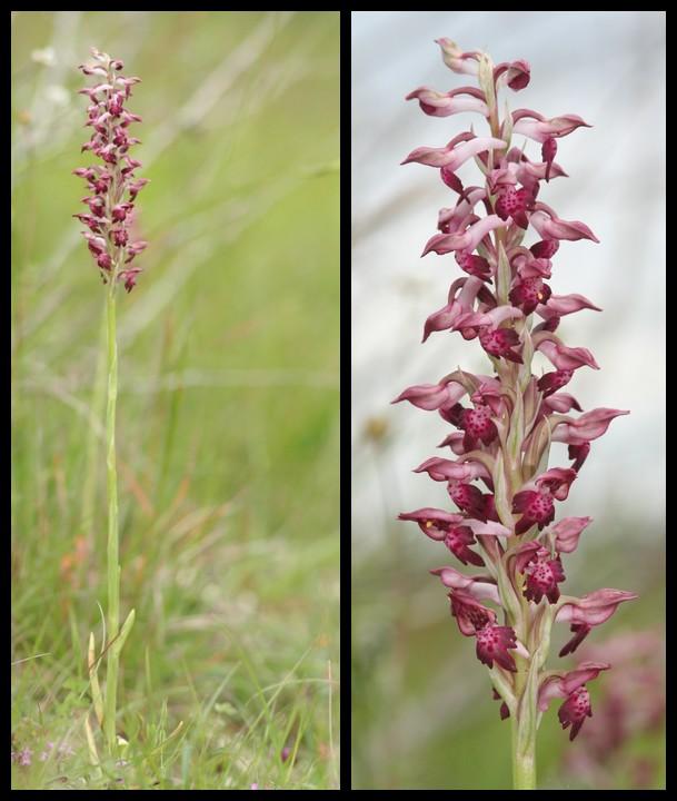 Anacamptis coriophora subsp. fragrans ( Orchis parfumée ) Cor310