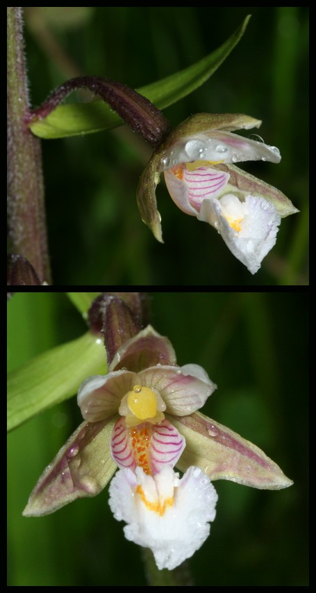 Epipactis palustris ( Epipactis des marais ) Epa210