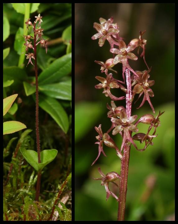 Neottia cordata (Listère cordée) Lcor110
