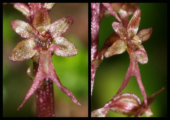 Neottia cordata (Listère cordée) Lcor210