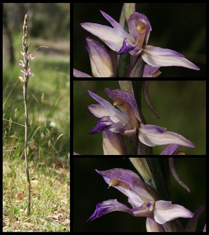 Limodorum abortivum  ( Limodore à feuilles avortées ) Lim110