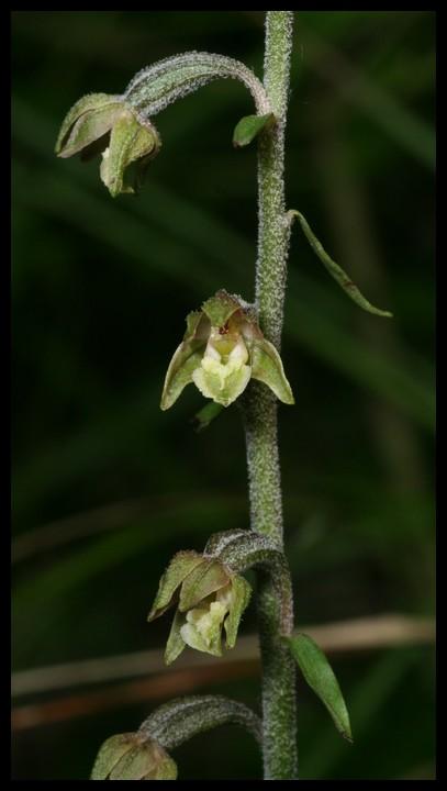 Epipactis microphylla ( Epipactis à petites feuilles ) Mic110