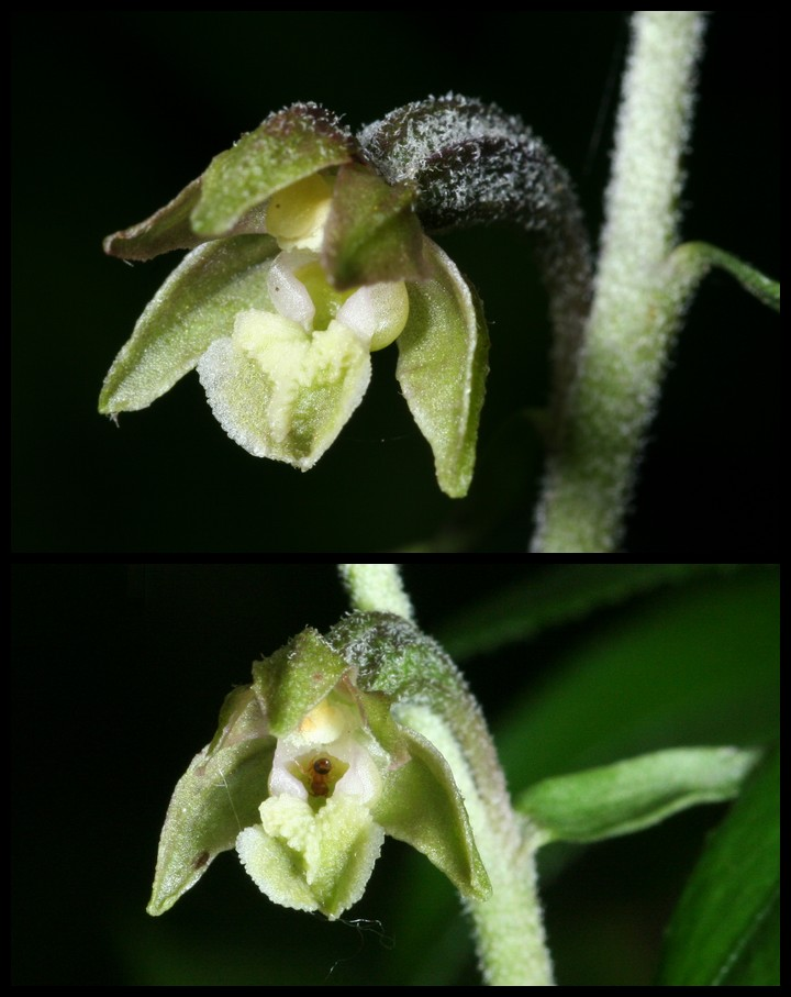 Epipactis microphylla ( Epipactis à petites feuilles ) Mic310