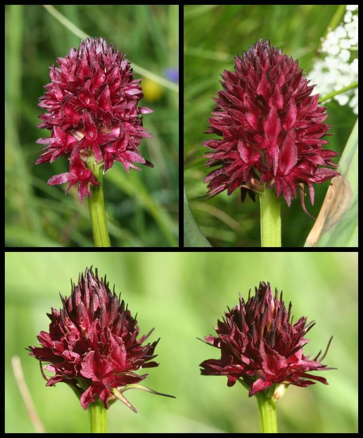 Gymnadenia ( Nigritella ) gabasiana ( Nigritelle de Gabas ) Nig110
