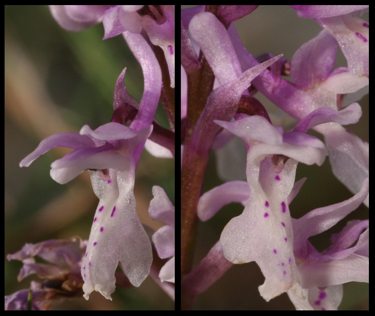 Orchis olbiensis ( Orchis d'Hyères ) Olbf110