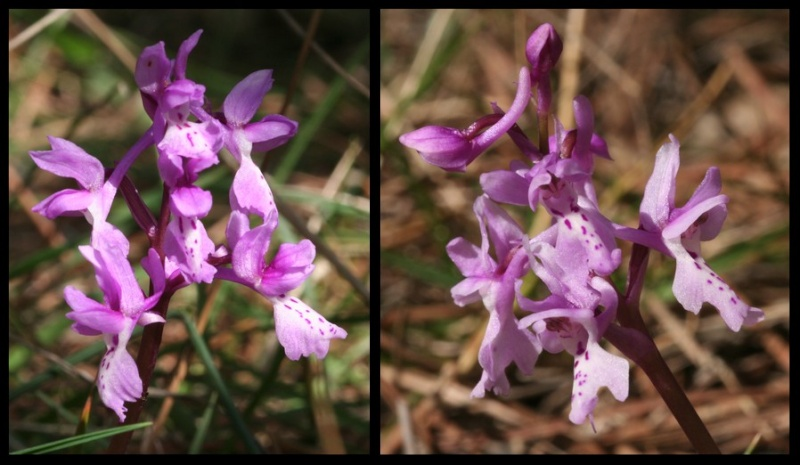 Orchis olbiensis ( Orchis d'Hyères ) Olbf210