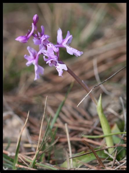Orchis olbiensis ( Orchis d'Hyères ) Olbp10