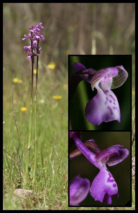 Anacamptis morio subsp. picta ( Orchis peint ) Pic110