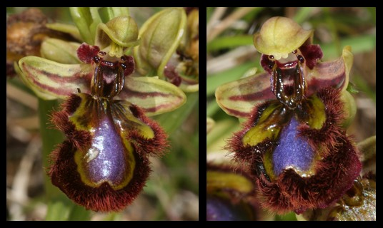 Ophrys speculum( Ophrys miroir ) Spe110