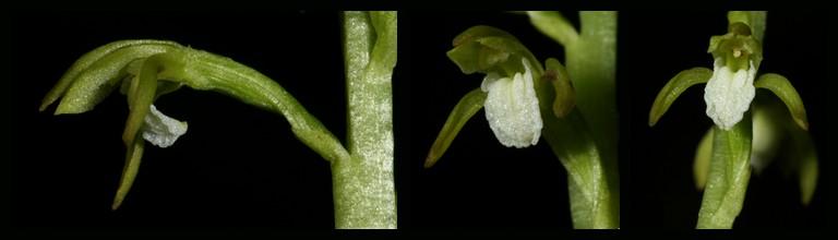 Corallorhiza trifida  ( Racine de corail ) Tri110
