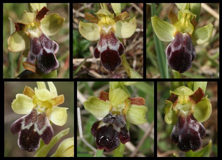 Ophrys vasconica ( Ophrys de Gascogne ) Vas510