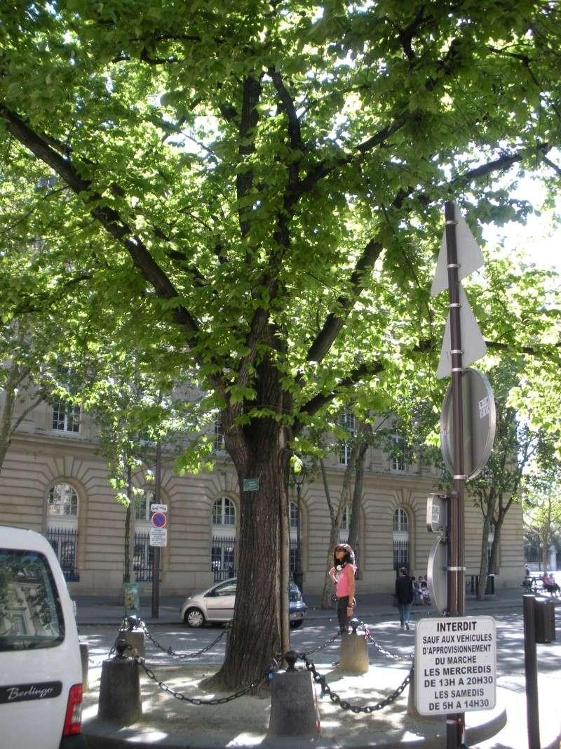 Un arbre occulte au coeur de Paris Arb_pa10