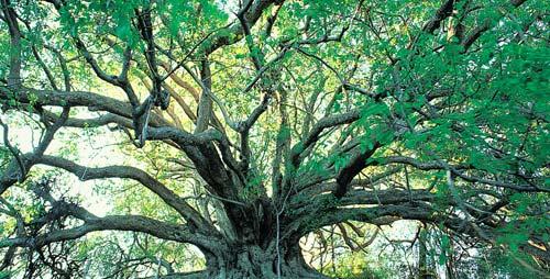 L'arbre de l'illumination de Bouddha Arbre_12