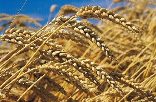 Rituels du blé et utilisation du blé en ésotérisme Ble12