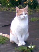 Recherche chat Brindille perdu désespérement avec l'ésotérisme Brindi10
