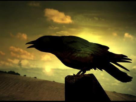 Le corbeau oiseau de guérison Corbea10