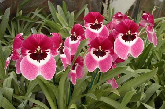 les fleurs Milton10