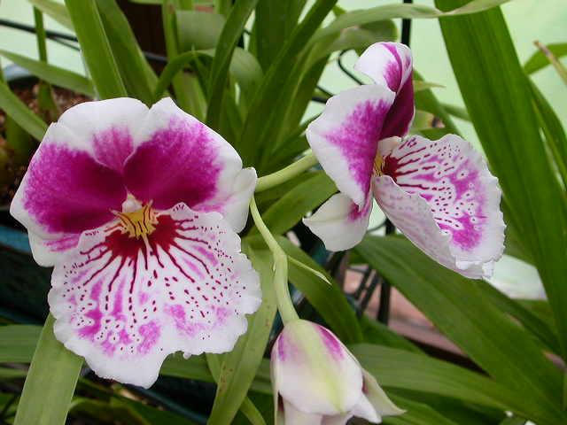 les fleurs Milton11