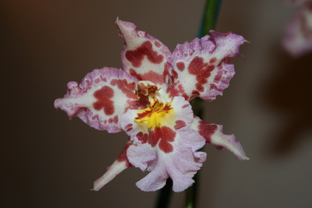 les fleurs Odonto10