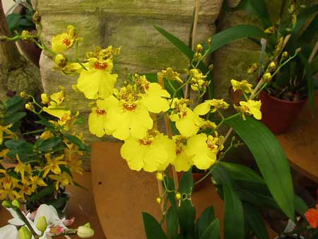 les fleurs Oncidi10