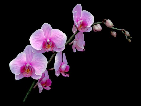 les fleurs Phalae10