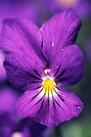 La couleur VIOLETTE dans L' AURA Violet10