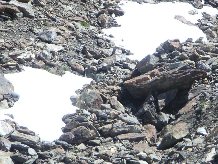 La faune en Haute-Tarentaise Pict8110
