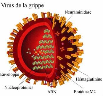 Le virus H5N1 mutant mortel, transmissible par l'homme..... Grippe10