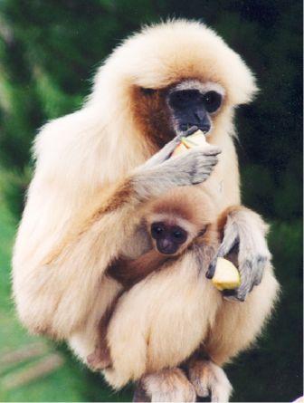 L'alphabet de la Faune - Page 6 Gibbon10