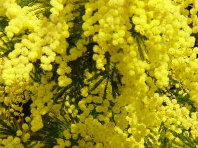 L'Alphabet de la Flore Mimosa10