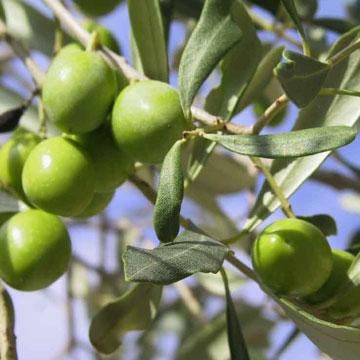 L'Alphabet de la Flore Olives10