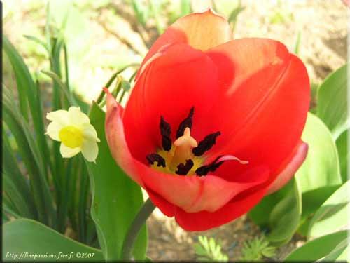 L'Alphabet de la Flore Tulipe10