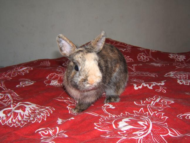 diego 5/6 mois recherche une famille (lapin) Diego_12