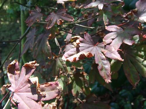 L'acer Palmatum! Acer_m10