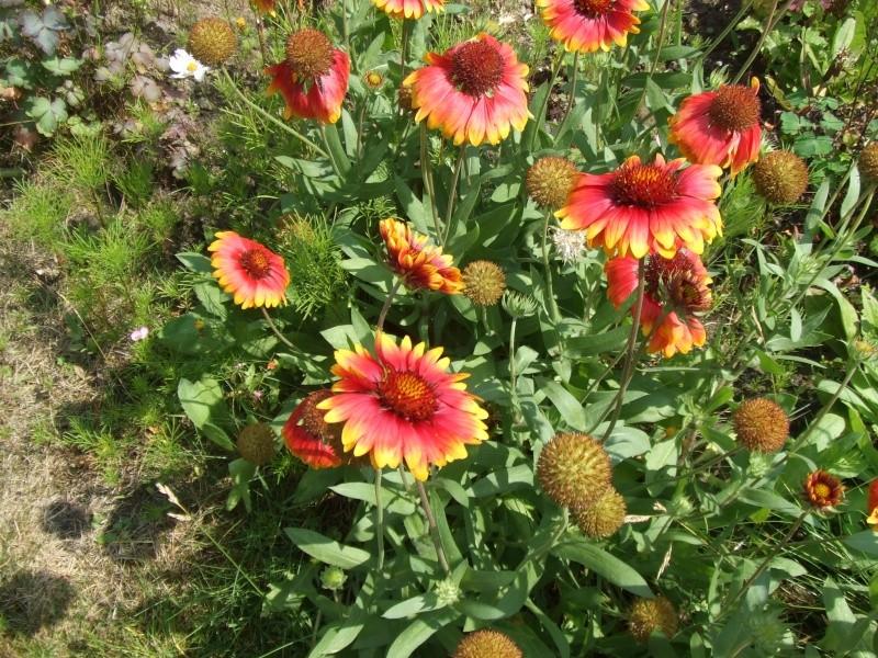 Le jardin de Joséphine.. Dscf2946